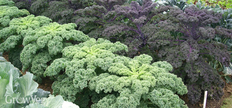Growing kale as a winter crop