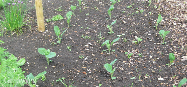 Brassica seedlings planted out