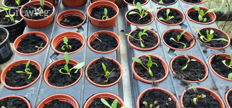 Chard seedlings for transplanting