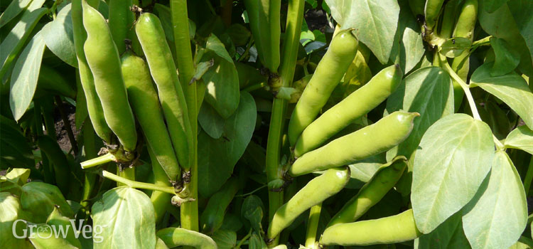 https://s3.eu-west-2.amazonaws.com/growinginteractive/blog/broad-beans-2x.jpg
