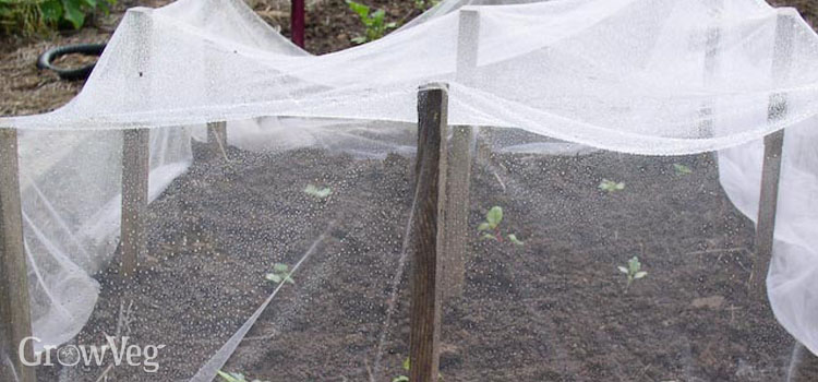 Broccoli protected by netting