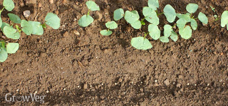 Buckwheat sown alongside beetroot seeds