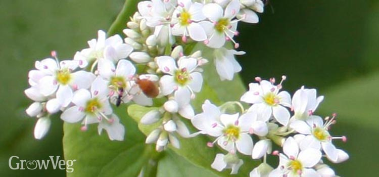 Buckwheat blossom in a vegetable garden