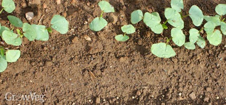 Growing Buckwheat as a nurse crop