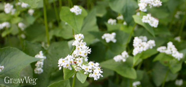Buckwheat as a restorative cover crop for cleared land