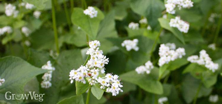 Гречиха как восстановительное покровное растение для очищенной земли