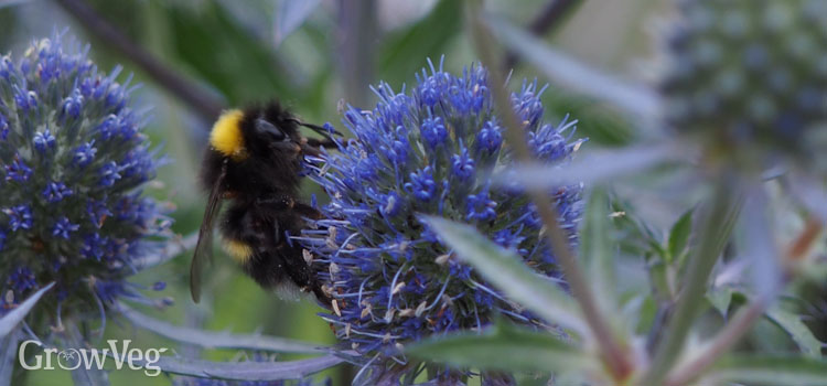 https://s3.eu-west-2.amazonaws.com/growinginteractive/blog/bumblebee-on-sea-holly-2x.jpg