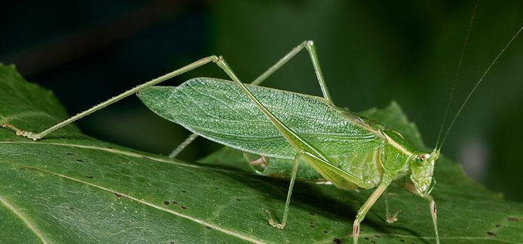 Bush katydid. Image credit: Music of Nature