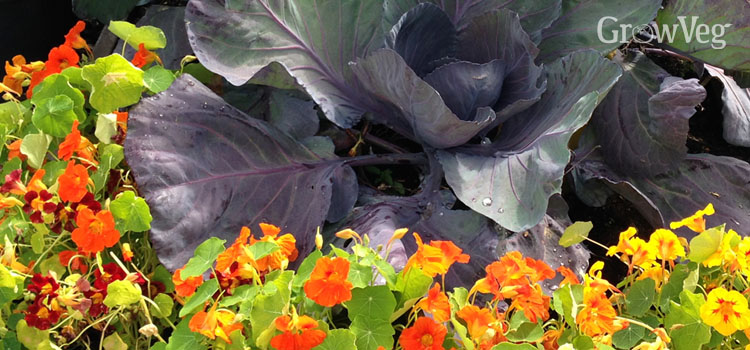 https://s3.eu-west-2.amazonaws.com/growinginteractive/blog/cabbage-and-nasturtiums-2x.jpg