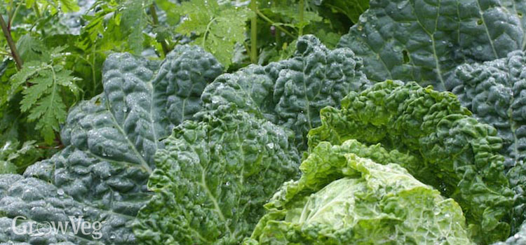 Alcosa' dwarf savoy cabbage rubs elbows with feverfew, which is avoided by many insects