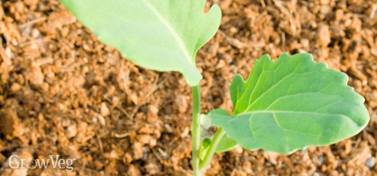 Cabbage seedling