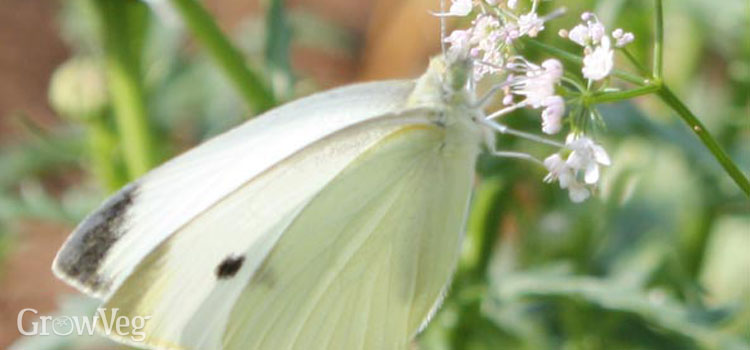 https://s3.eu-west-2.amazonaws.com/growinginteractive/blog/cabbage-white-2x.jpg