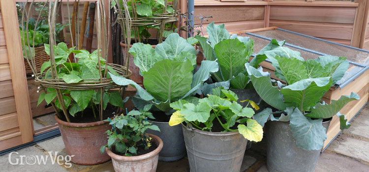 https://s3.eu-west-2.amazonaws.com/growinginteractive/blog/cabbages-beans-tomatoes-squash-containers.jpg