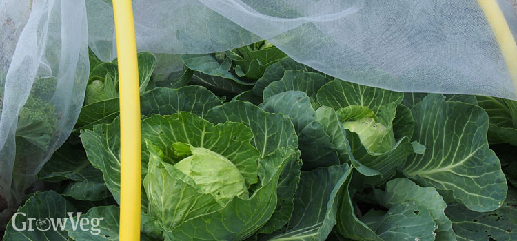 Cabbages protected by netting