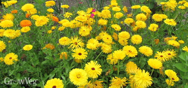 https://s3.eu-west-2.amazonaws.com/growinginteractive/blog/calendula-garden-2x.jpg