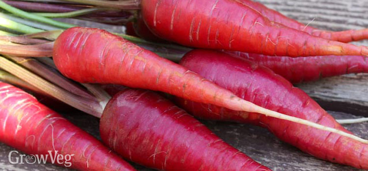 Red carrot 'Dragon'