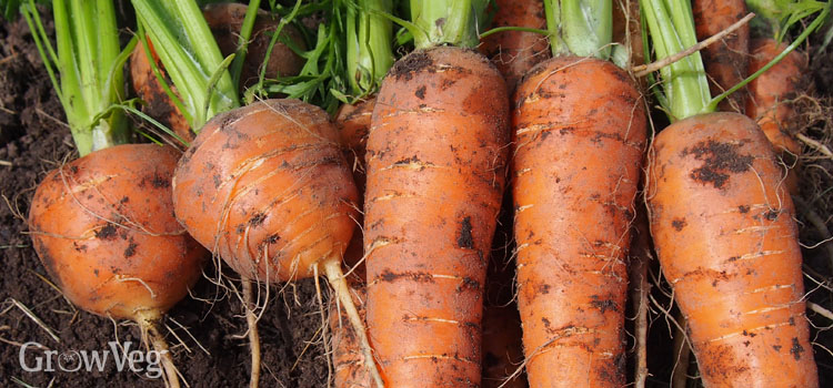 A selection of long rooted and round rooted carrots