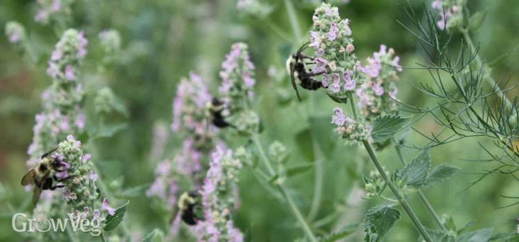 Bees attracted to catmint flowers
