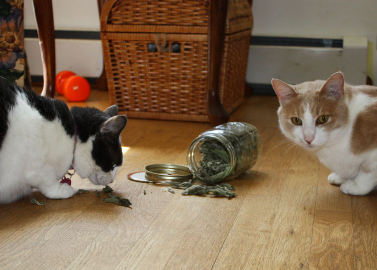 Cats love catnip/catmint