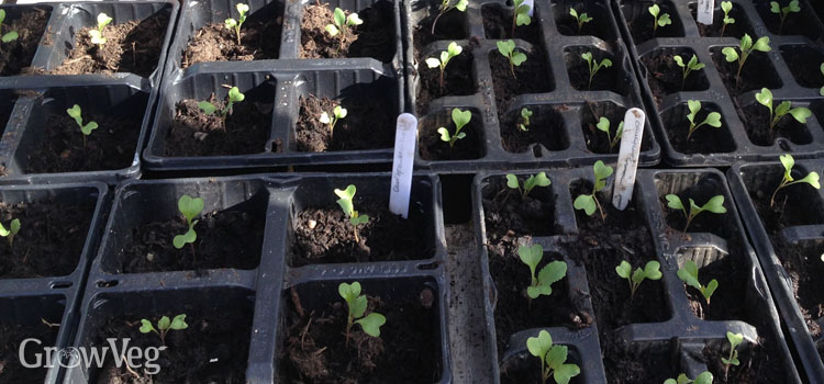 Early-planted cauliflower seedlings in module trays