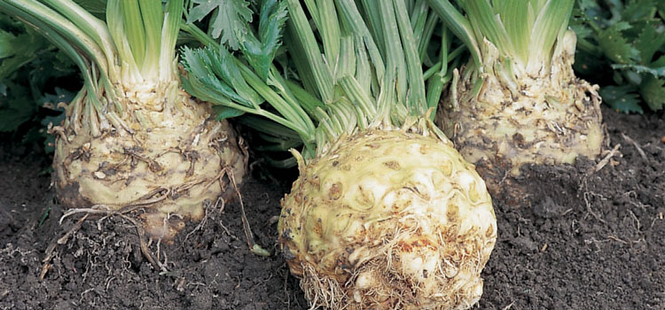 https://s3.eu-west-2.amazonaws.com/growinginteractive/blog/celeriac-ilona-2x.jpg