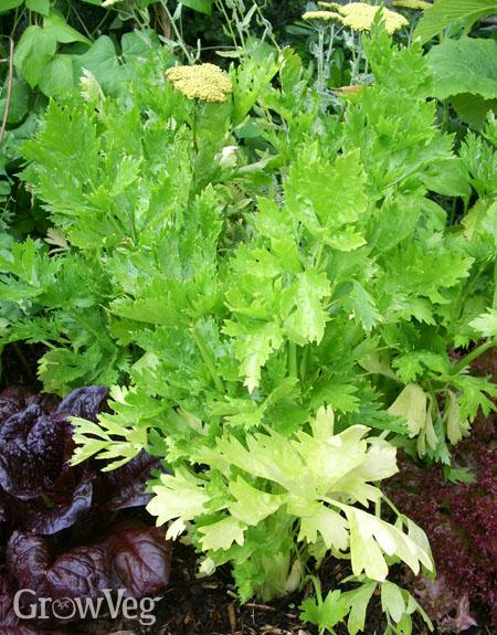Young celeriac plant