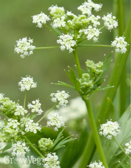 Celery flowering to produce celery seed