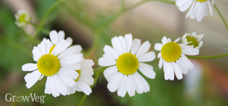 https://s3.eu-west-2.amazonaws.com/growinginteractive/blog/chamomile-flowers.jpg