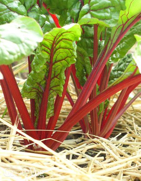 Suppressing weeds around chard