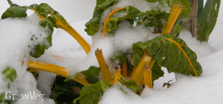 Chard in the snow