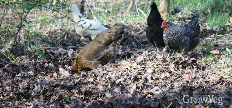 Chickens scratching in leaves