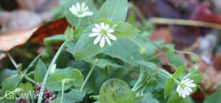 Some winter weeds such as chickweed are edible