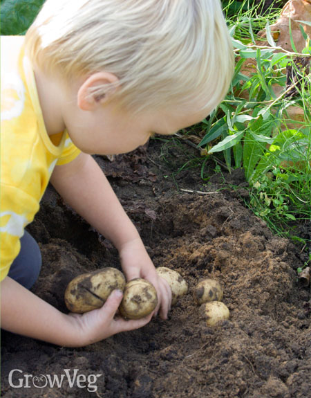 Child harvesting potatoes