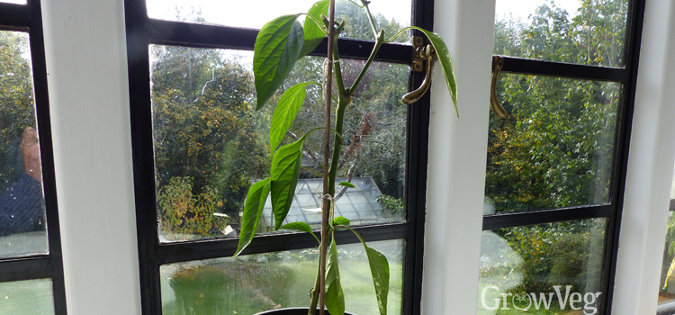 Water overwintered peppers infrequently