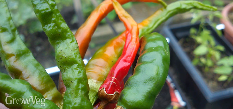 https://s3.eu-west-2.amazonaws.com/growinginteractive/blog/chillies-drying-2x.jpg