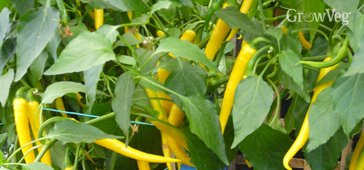 https://s3.eu-west-2.amazonaws.com/growinginteractive/blog/chillies-yellow-2x.jpg