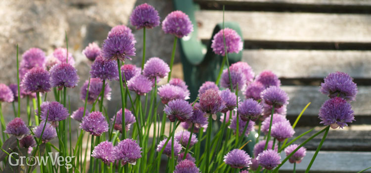 Growing chives in shade