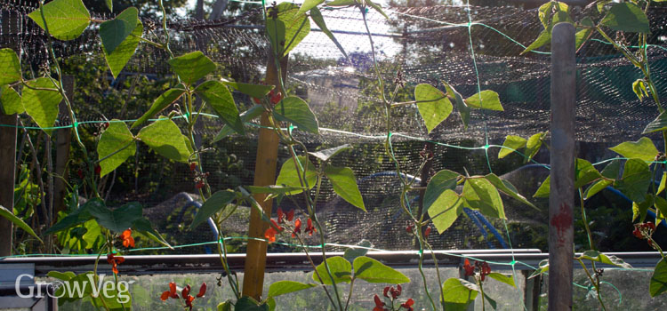 Beans growing up pea and bean netting