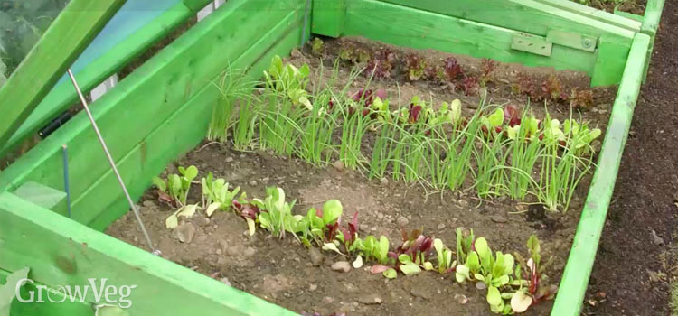 Seedlings in a cold frame