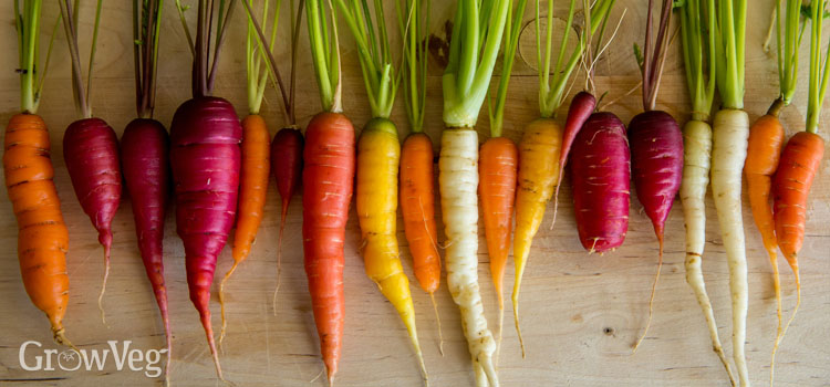 Carrots of many colours