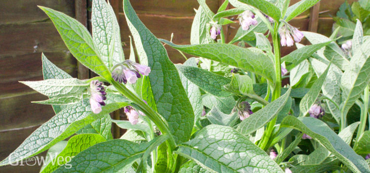 Comfrey is a great home grown fertilizer