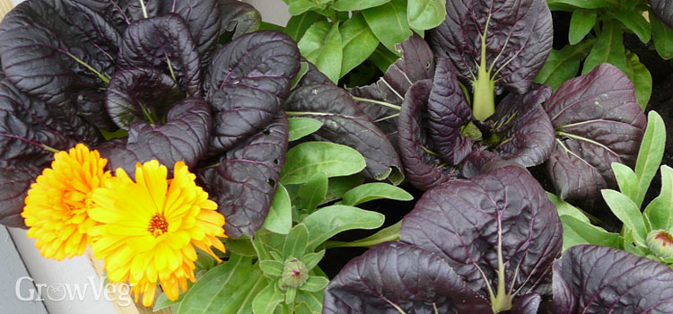 Companion planting with bok choy and calendula