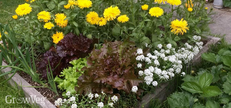 Companion planting in a small raised bed