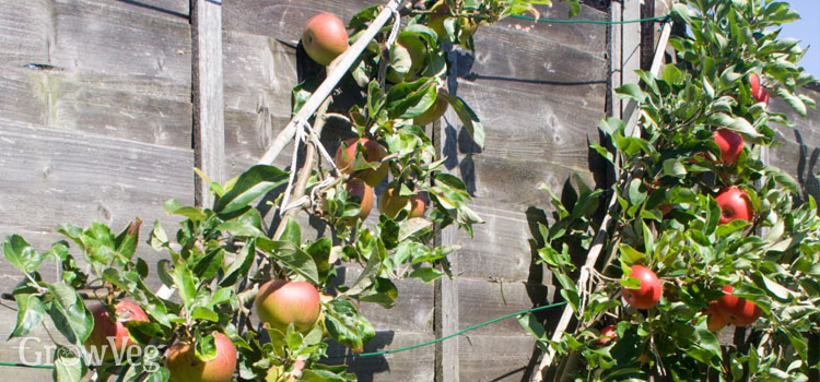 Cordon apples on a sunny south-facing fence