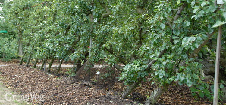 Growing cordon pears
