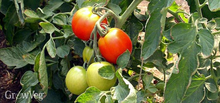 Cordon tomato