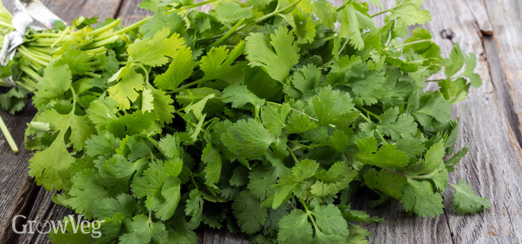 https://s3.eu-west-2.amazonaws.com/growinginteractive/blog/coriander-bunch-2x.jpg