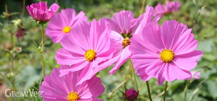 https://s3.eu-west-2.amazonaws.com/growinginteractive/blog/cosmos-flowers-2x.jpg