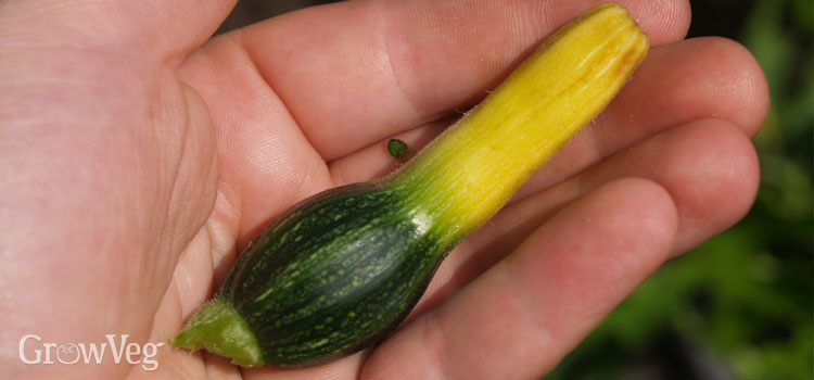 Aborted zucchini fruit