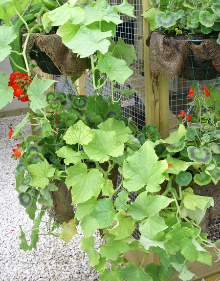 Zucchini in hanging baskets